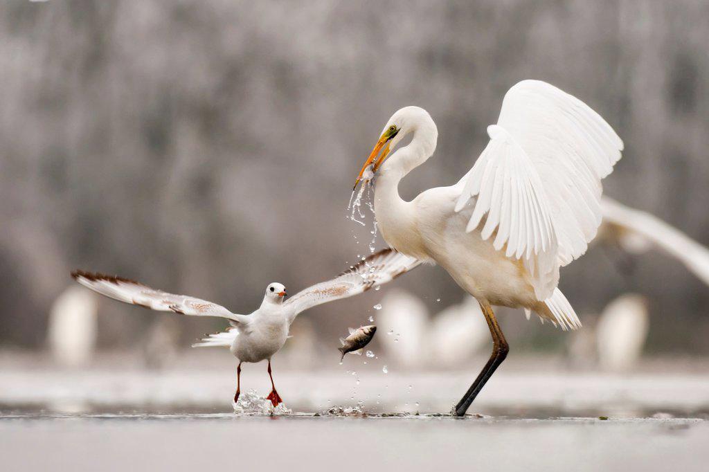 Great egret (Egretta alba) drops a fish from its beak and a Black headed gull (Larus ridibundus) flies in to catch it. Lake Csaj, Kiskunsagi NP, Hungary, January. Winner, Eric Hosking award, 2011 Wildlife Photographer of the Year competition : Stock Photo