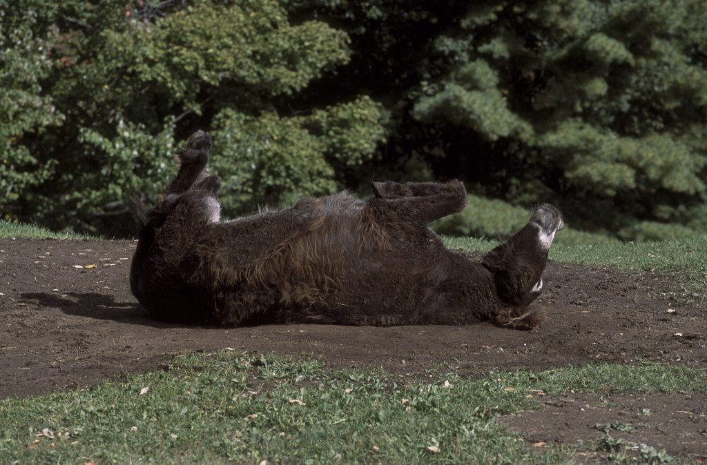 Stock Photo: 4070-1946 Poitou donkey rolling (rare breed) USA {Equus asinus}