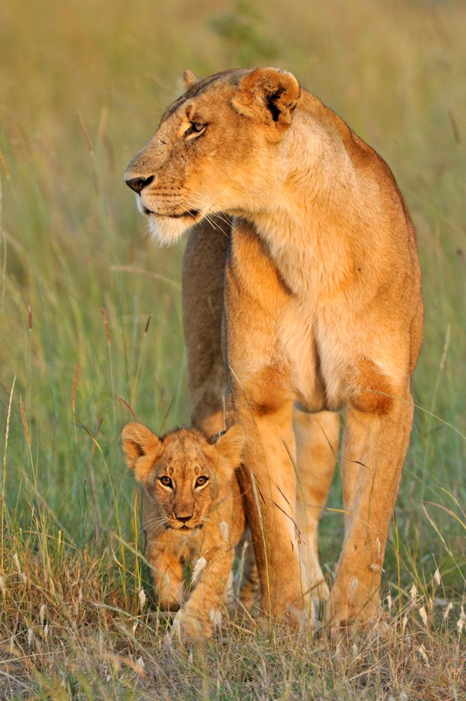 African lion (Panthera leo) lioness with cub, Masai Mara GR, Kenya, February : Stock Photo