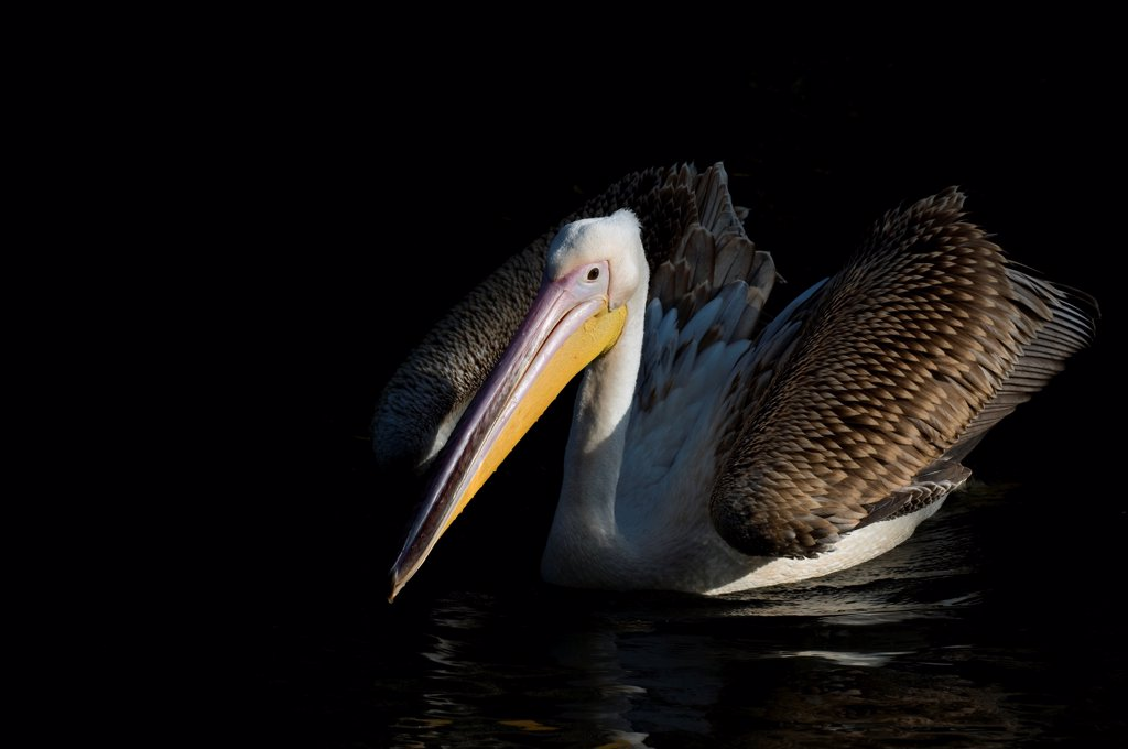 Pink backed pelican (Pelecanus rufescens) wings slightly open on water, captive : Stock Photo