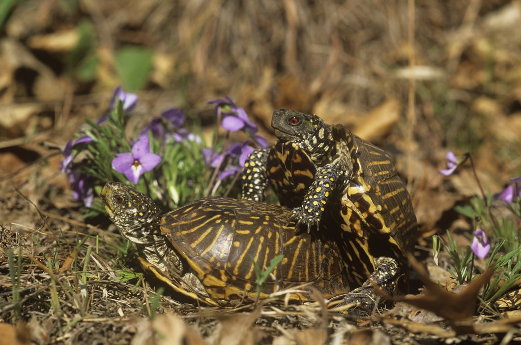 Ornate box turtles {Terrapene ornata ornata} mating pair, Illinois, USA : Stock Photo
