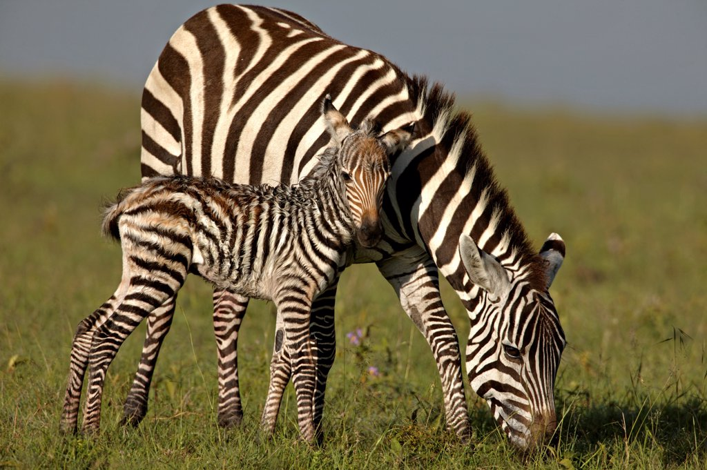 Stock Photo: 4070-20203 Burchell's Zebra (Equus burchelli) mother with new born foal. Masai Mara, Kenya. (non-ex).
