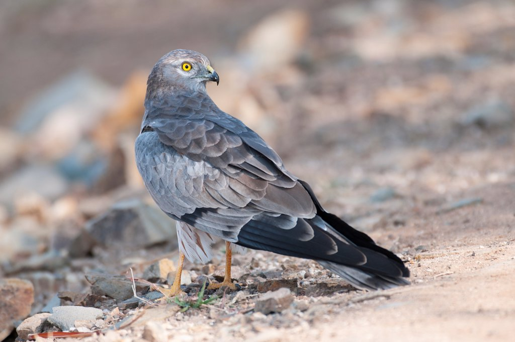 Stock Photo: 4070-20384 Montagu's Harrier (Circus pygargus) male, Velvadar, Gujarat, India