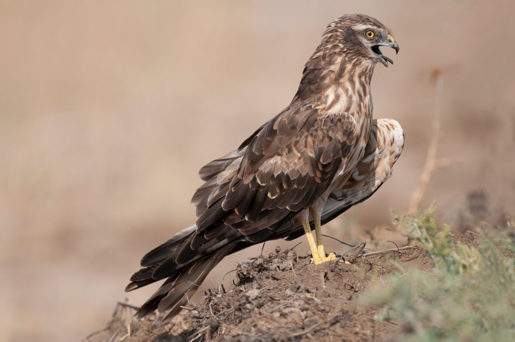 Stock Photo: 4070-20387 Montagu's harrier (Circus pygargus) adult female, Velvadar, Gujarat, India