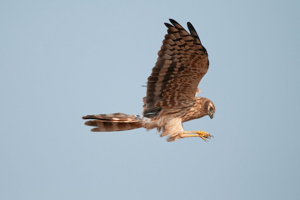 Stock Photo: 4070-20388 Montagu's harrier (Circus pygargus) adult female in flight, Velvadar, Gujarat, India