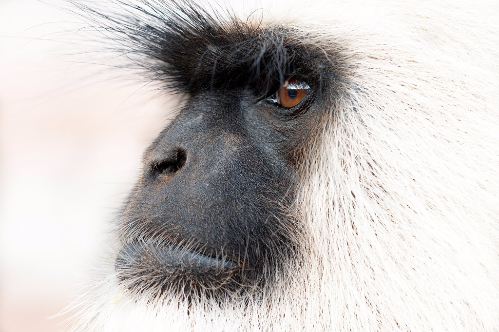 Stock Photo: 4070-20426 Southern plains grey langur ( Semnopithecus entellus / Presbytis entellus) close up face profile, Sawai Modhopur, Rajasthan, India