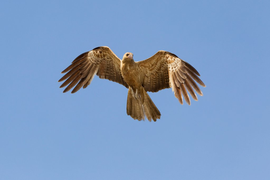 Stock Photo: 4070-20429 Whistling Kite (Haliastur sphenurus) in flight, Northern Territory, Australia, December