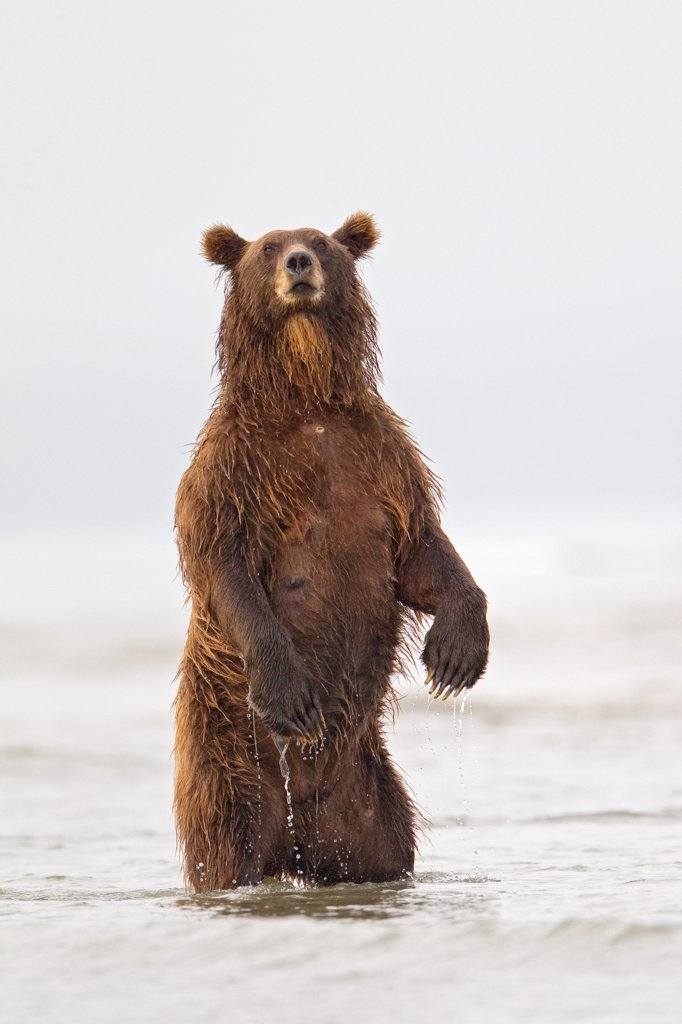 Stock Photo: 4070-20464 Grizzly Bear (Ursus arctos horribilis) standing up while fishing for salmon during spawning season, Lake Clark National Park, Alaska, USA, August