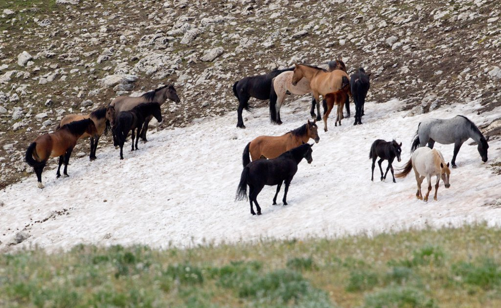 Stock Photo: 4070-20643 Wild horse / Mustang, group standing on small patch of remaining snow, cooling off and keeping away from insects, Pryor mountains, Montana, USA, July 2011