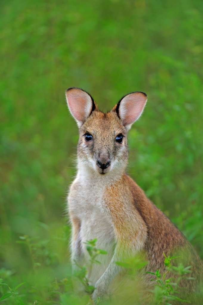 Stock Photo: 4070-20781 Agile wallaby (Macropus agilis) portrait, Bamarru Plains, Northern Territories, Australia