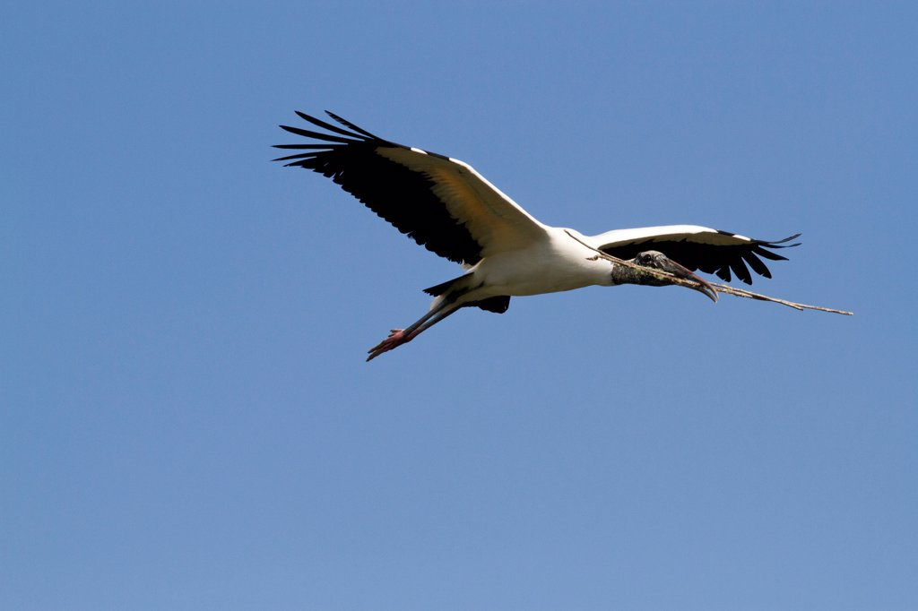 Wood Stork (Mycteria americana) in flight with nesting material. St. John's County, Florida, USA, March. : Stock Photo