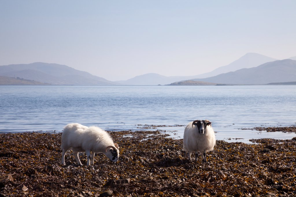 Stock Photo: 4070-21307 Sheep (Ovis aries) feeding on seaweed at low tide. Isle of Skye, Inner Hebrides, Scotland, UK, March 2012.