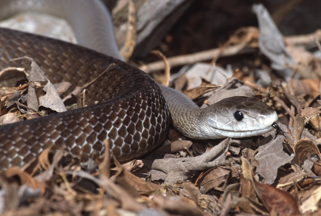Stock Photo: 4070-2131 Black mamba snake {Dendroaspis polylepis} captive