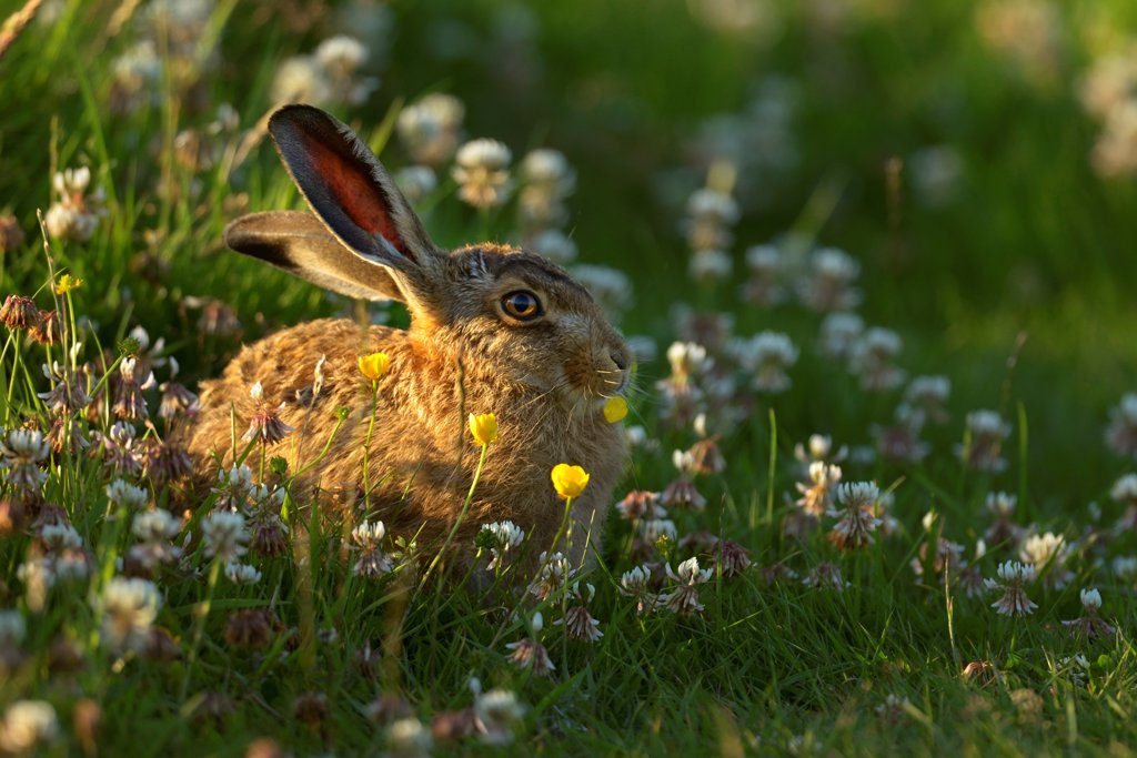 Stock Photo: 4070-21503 European hare (Lepus europaeus) in grassland, UK July
