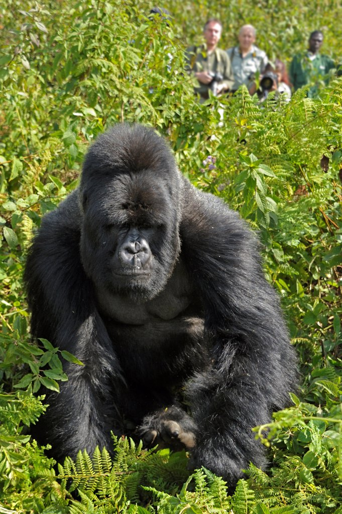Stock Photo: 4070-21521 Mountain gorilla (Gorilla gorilla beringei) silverback walking in front of watching tourists, Virunga Volcanoes, Rwanda 2012