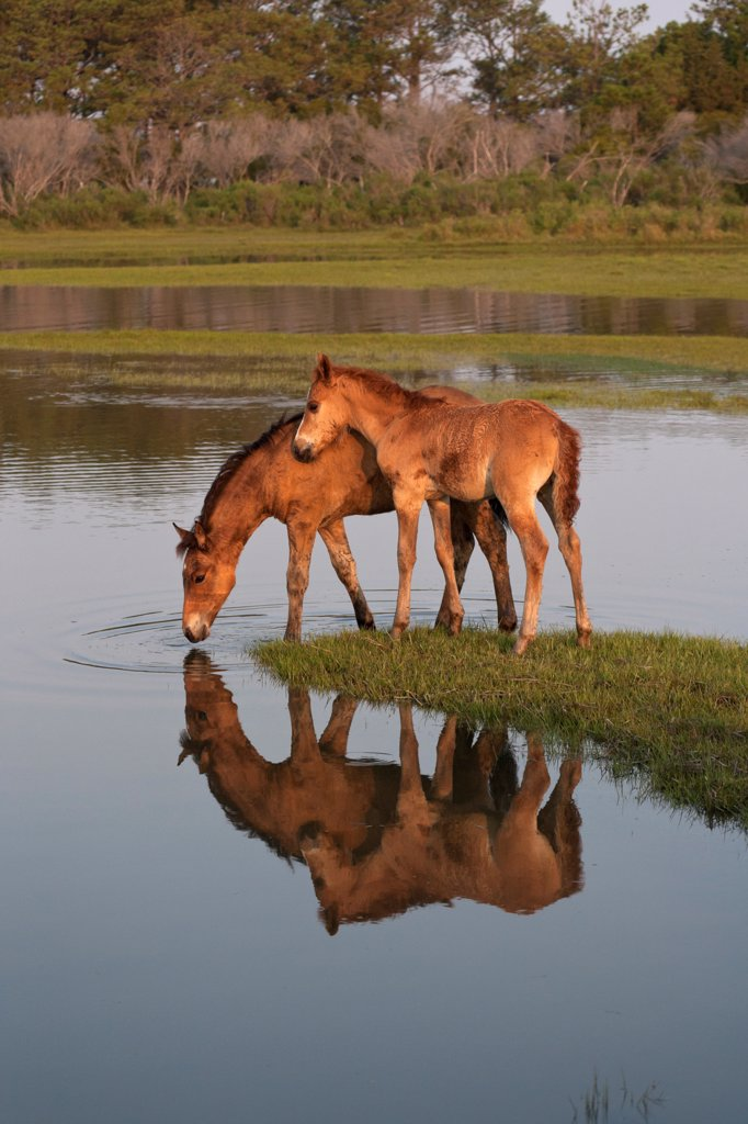 Wild Chincoteague (Equus caballus) two colts reflecting in water, Chincoteague National Wildlife Refuge, Chincoteague Island, Virginia, USA, July : Stock Photo