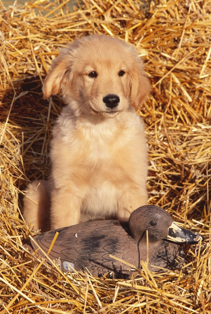 Golden retriever puppy with decoy duck {Canis familiaris} USA : Stock Photo