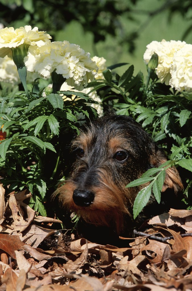 Stock Photo: 4070-2174 Long haired dachshund among carnations {Canis familiaris} USA