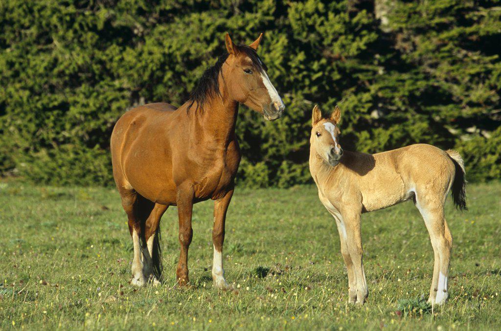 Wild horse (Equus caballus) mustang and foal, Pryor Mountains, Montana, USA : Stock Photo