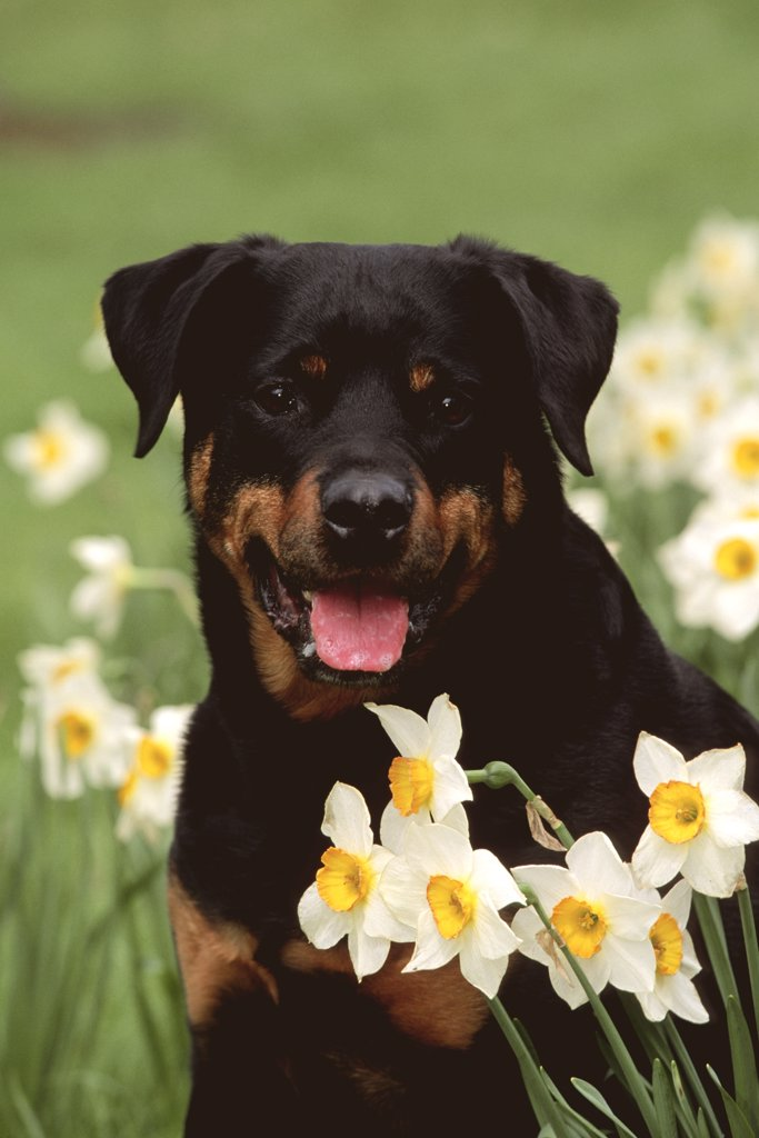 Stock Photo: 4070-2216 Rottweiler dog amongst Daffodils {Canis familiaris} USA
