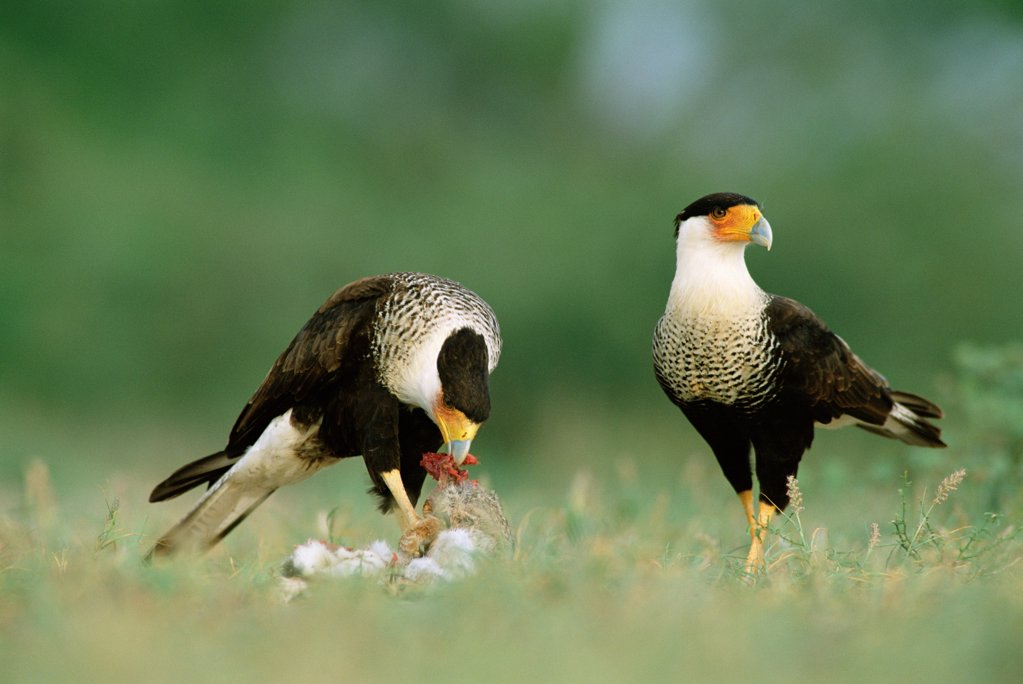 Common caracaras {Caracara plancus} feeding on rabbit prey, Texas, USA. : Stock Photo