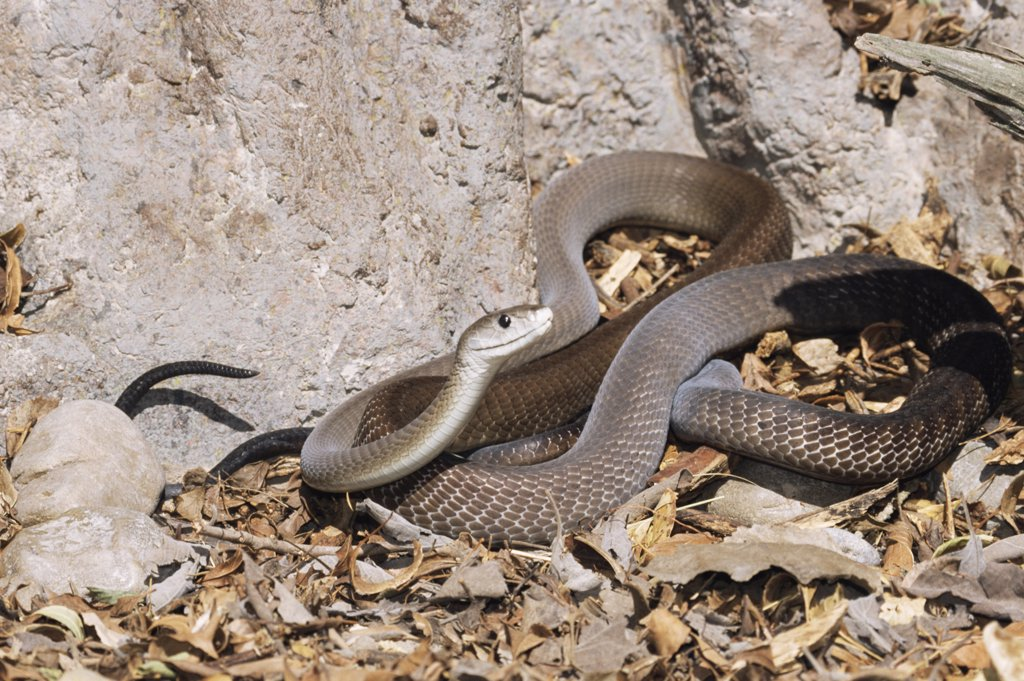 Stock Photo: 4070-2232 Black mamba {Dendroaspis polylepis} captive