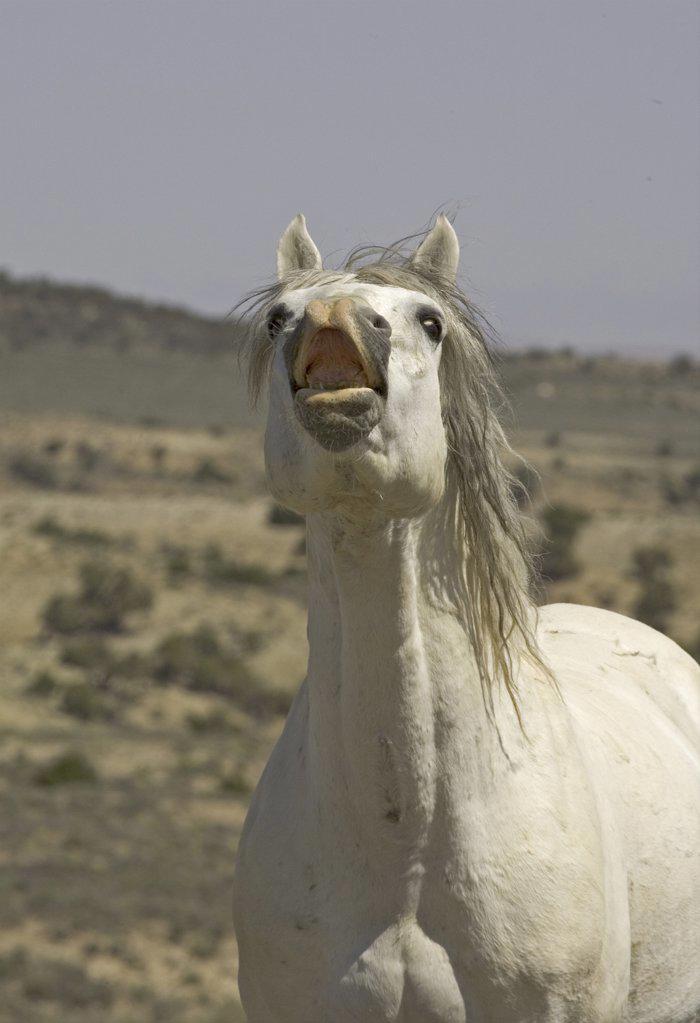 Mustang / Wild horse - grey stallion flehmen, Wyoming, USA. Adobe Town HMA : Stock Photo