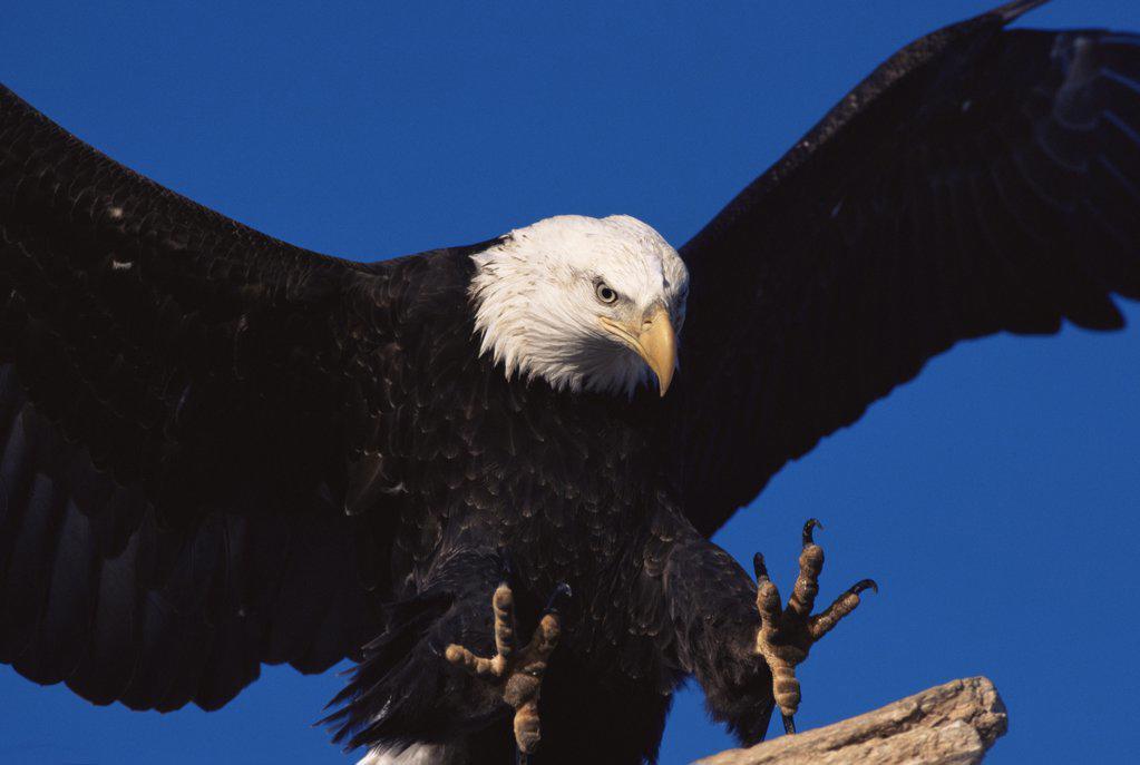 Stock Photo: 4070-2432 American bald eagle landing close up {Haliaeetus leucocephalus} Alaska, USA.