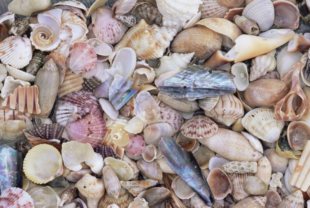 Stock Photo: 4070-2525 Sea shells on the sea shore, Florida, USA.