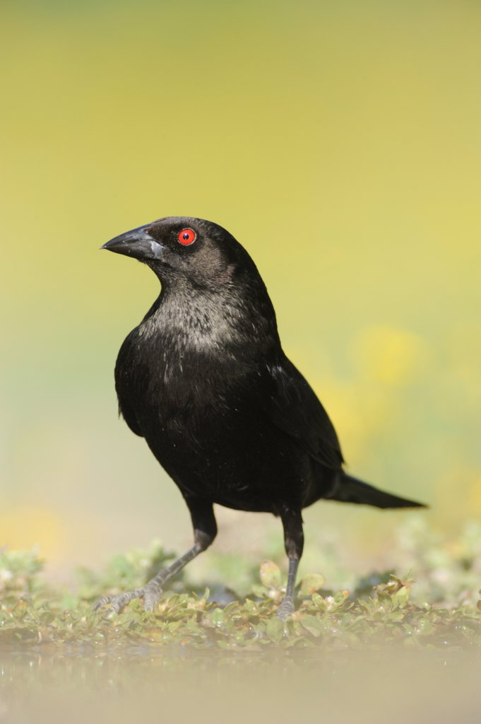 Stock Photo: 4070-27231 Bronzed Cowbird (Molothrus aeneus). Laredo, Webb County, Texas, USA, April.