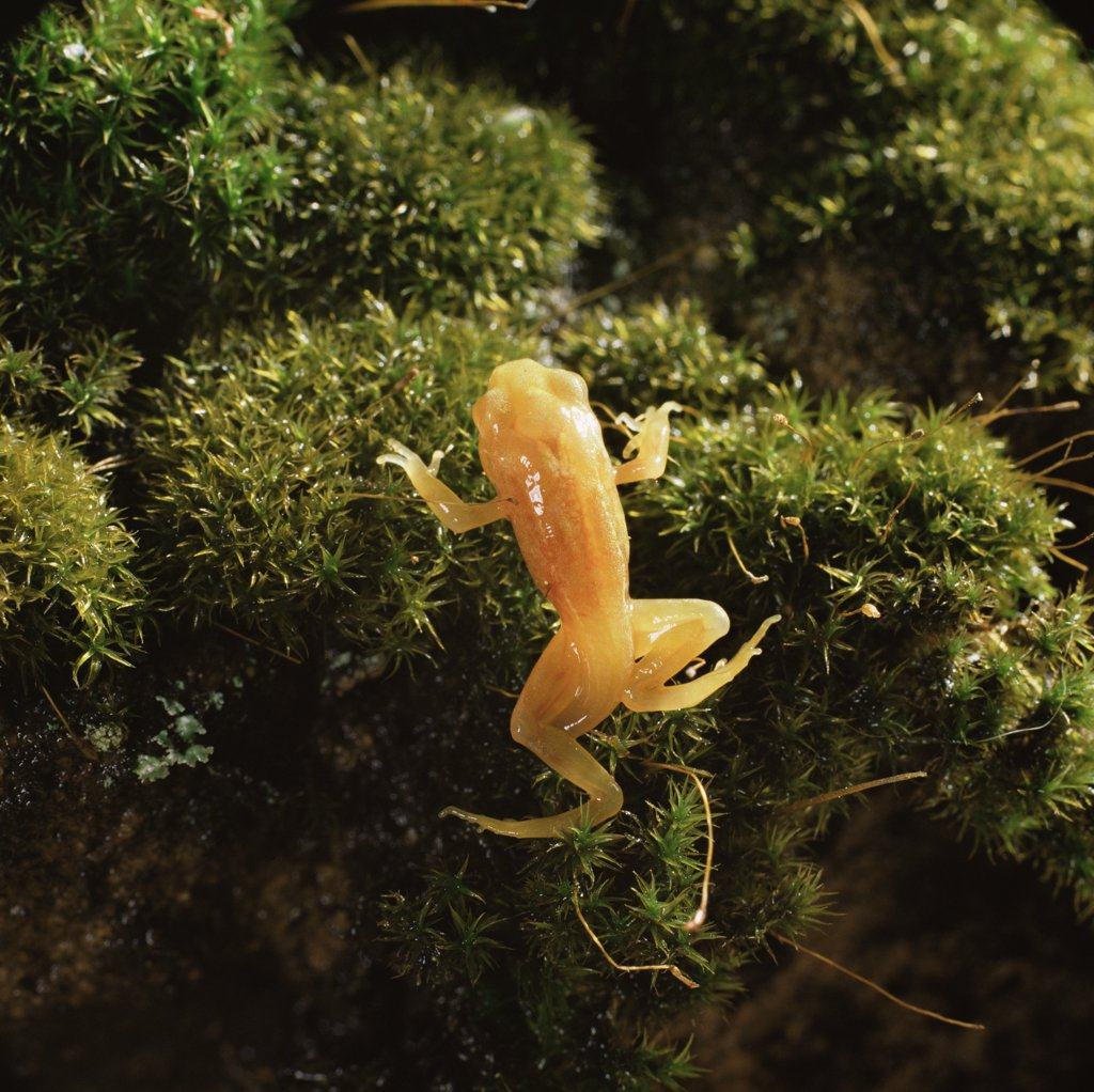 Stock Photo: 4070-2741 Common Frog (Rana temporaria) golden-yellow morph froglet emerging from pond