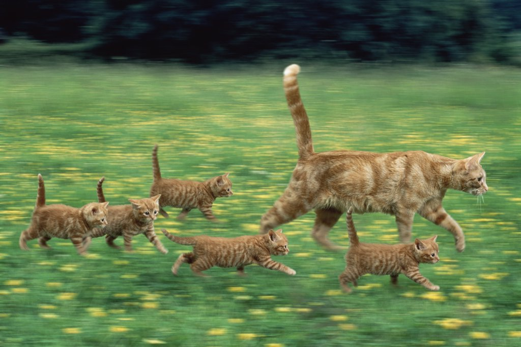 Stock Photo: 4070-2786 Ginger domestic cat running with litter of five kittens (digitally enhanced)