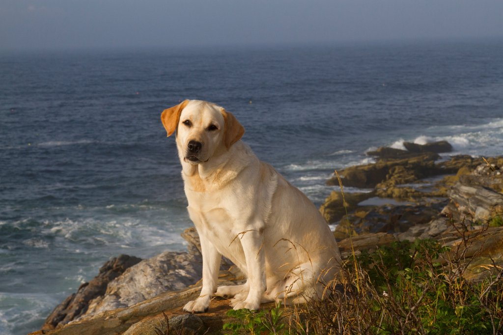 Yellow Labrador Retriever sitting on seashore rocks on a  foggy morning, Pemaquid, Maine, USA : Stock Photo