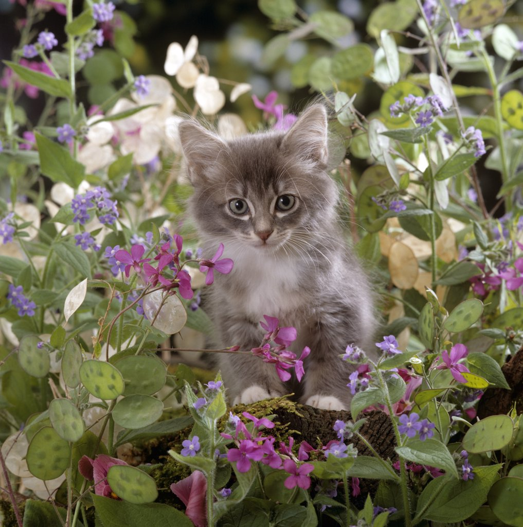 Domestic Cat {Felis catus} 7-week, Fluffy grey male kitten 'Perseus' among flowers. : Stock Photo