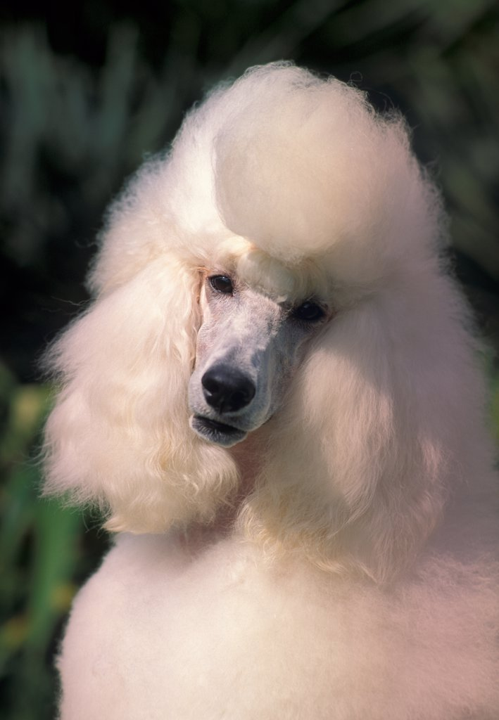 Stock Photo: 4070-3343 White Barbone / Caniche / Standard Poodle head cocked to one side.