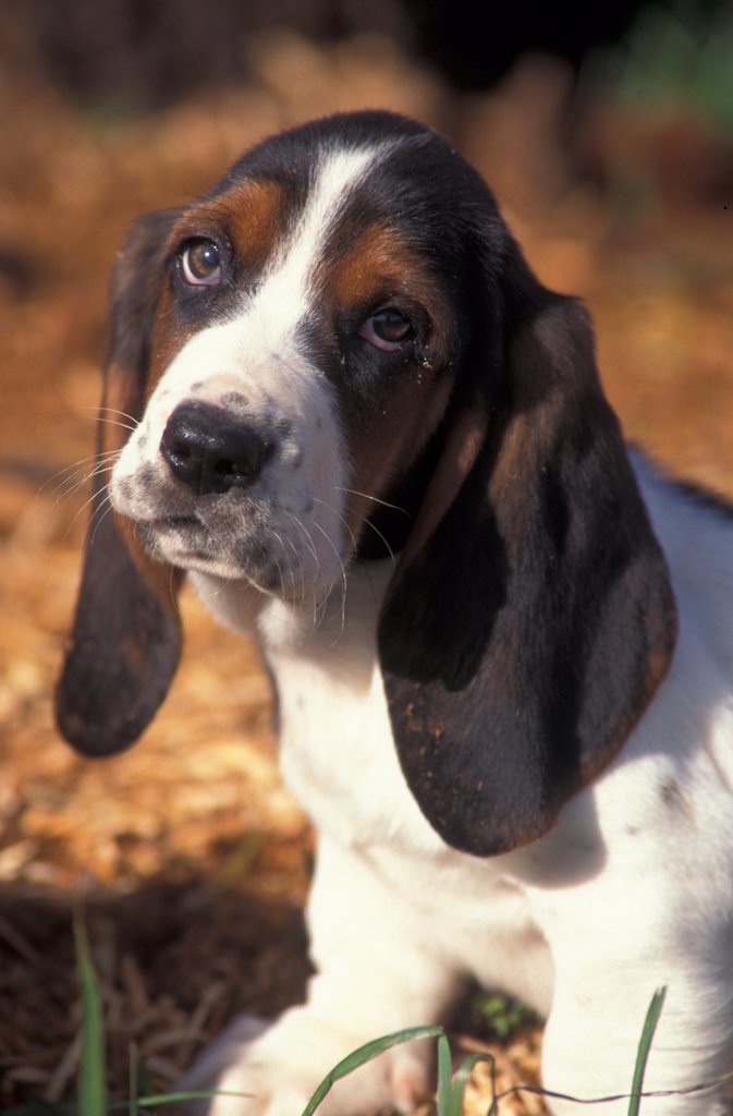 Stock Photo: 4070-3437 Tricolour Basset hound puppy with head cocked to one side.