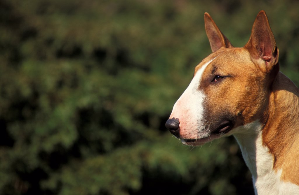 Stock Photo: 4070-3562 Brown and white Bull Terrier