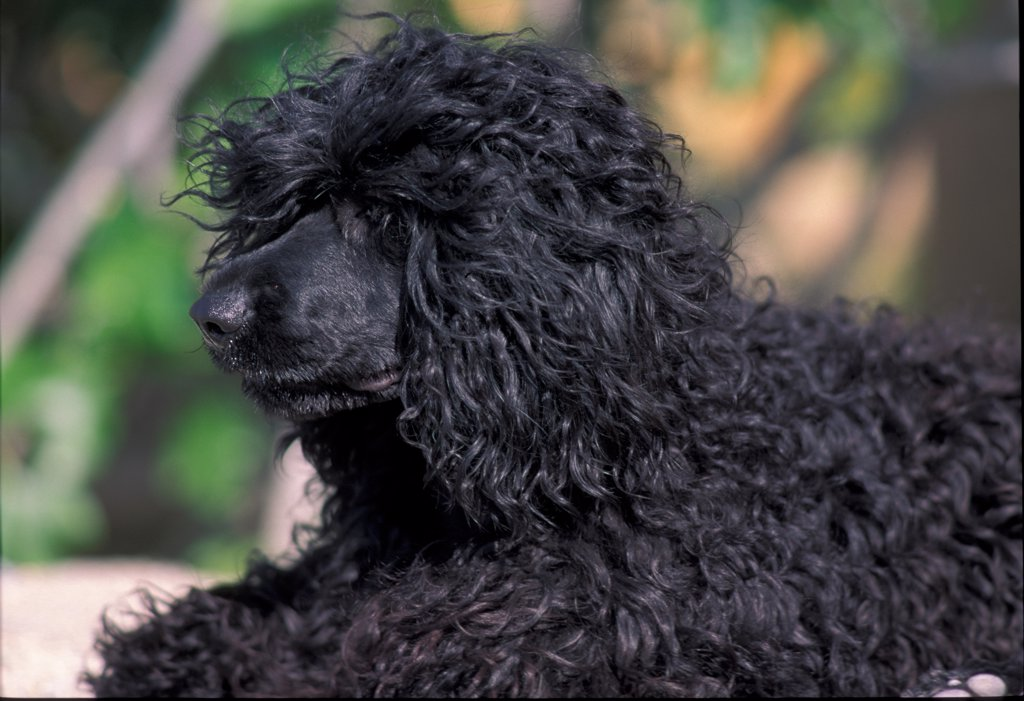 Portuguese water dog portrait, curly coated variety : Stock Photo