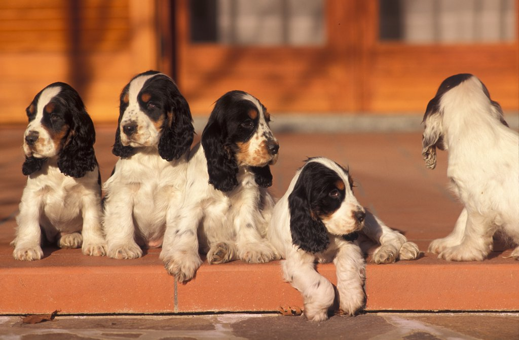 Stock Photo: 4070-3697 Five Cocker spaniel puppies