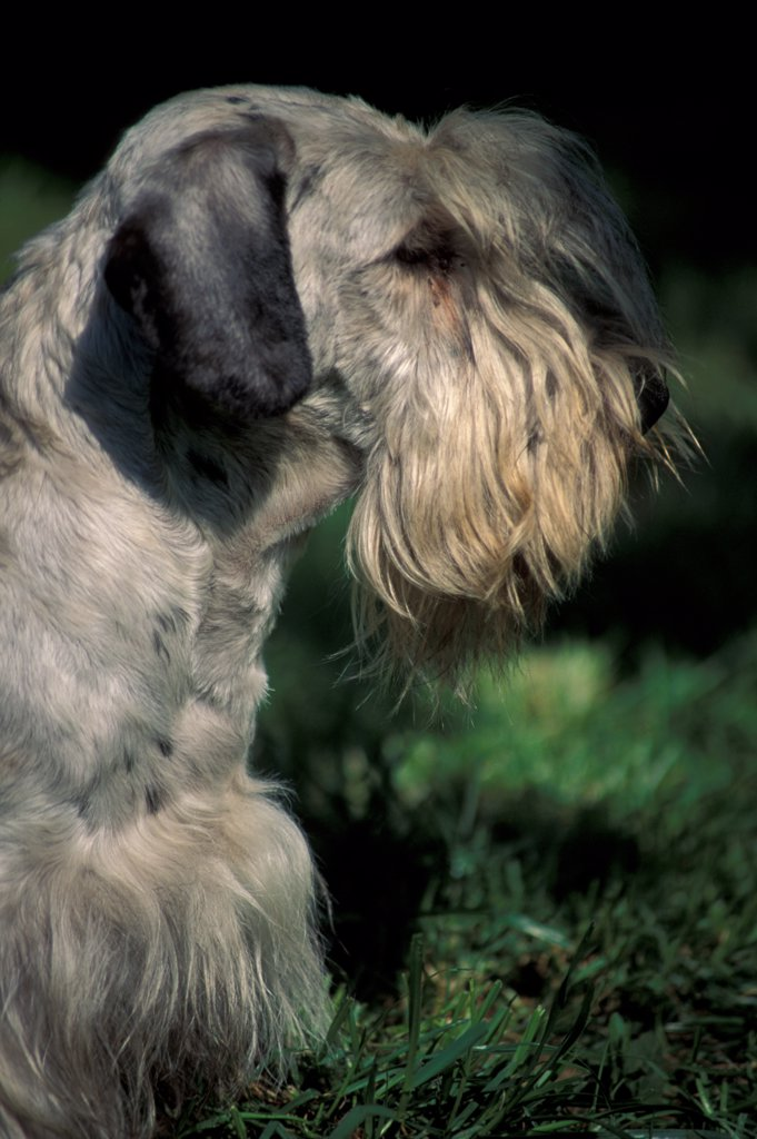 Stock Photo: 4070-3728 Cesky terrier, portrait
