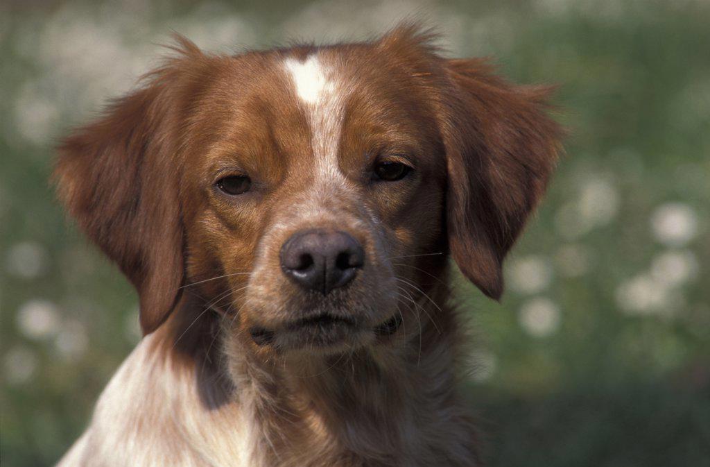 Stock Photo: 4070-3857 Brittany dog portrait