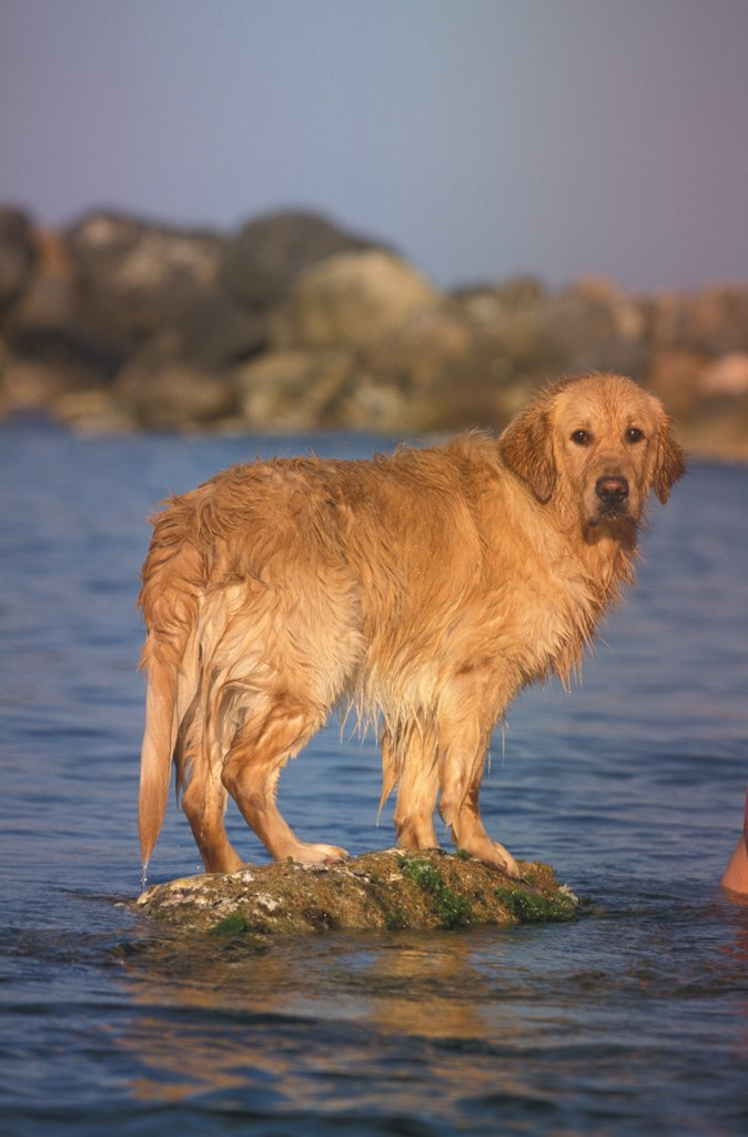 Golden retriever portrait beside the sea : Stock Photo