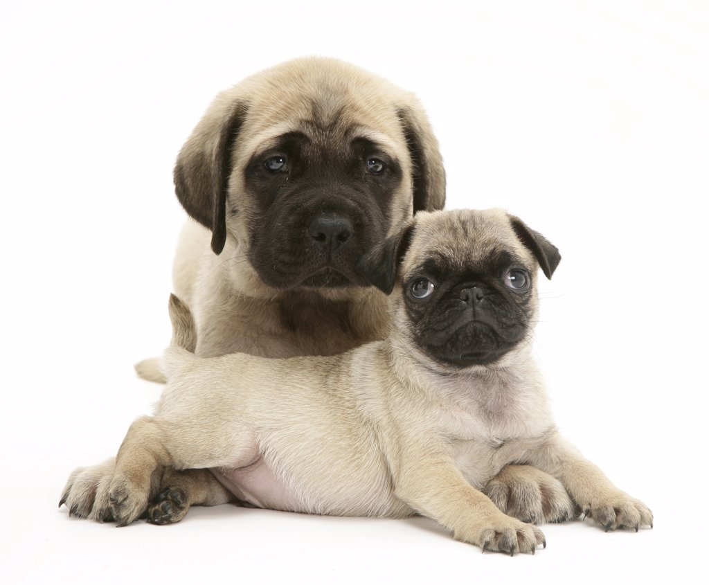 Stock Photo: 4070-4075 Fawn Pug puppy with fawn English Mastiff puppy