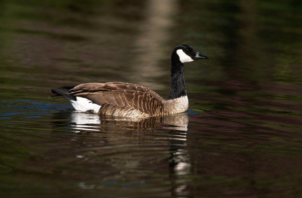 Canada Goose {Branta canadensis} Illinois, USA : Stock Photo