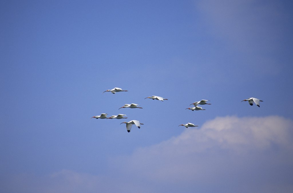 Stock Photo: 4070-4171 Flock of White ibis flying {Eudocimus albus} Tampa Bay,  Florida, USA