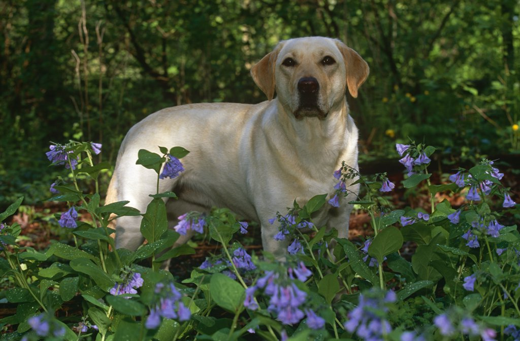 Stock Photo: 4070-4194 Domestic dog, Labrador retriever in woodland, Illinois, USA