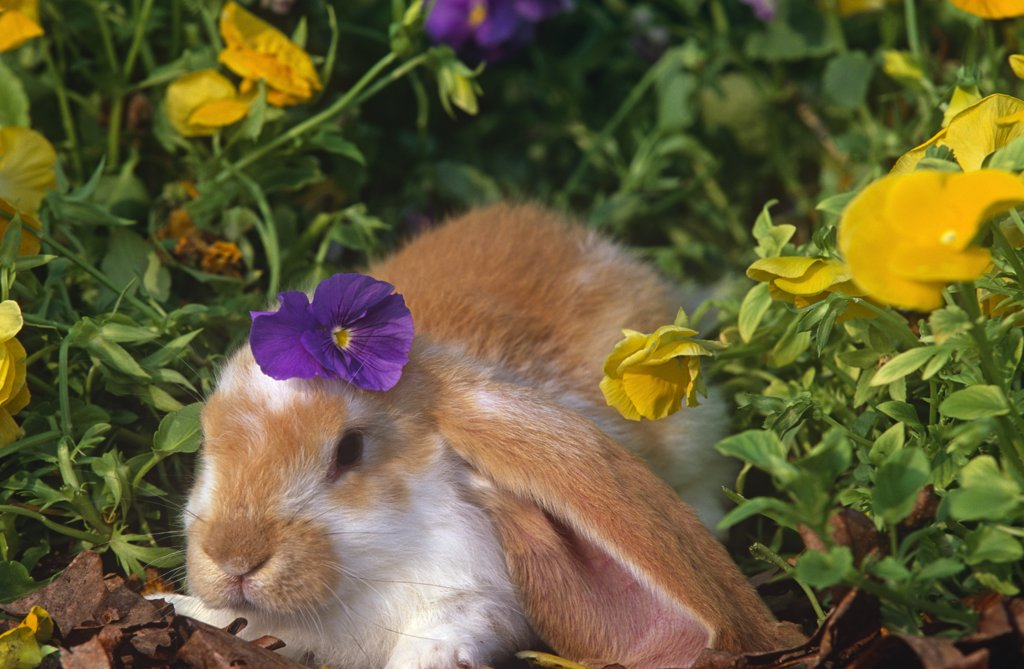 Stock Photo: 4070-4214 English lop eared rabbit {Oryctolagus sp} amongst Pansies, USA