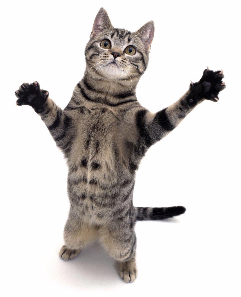 Stock Photo: 4070-4281 Silver tabby domestic cat {Felis catus} standing, UK