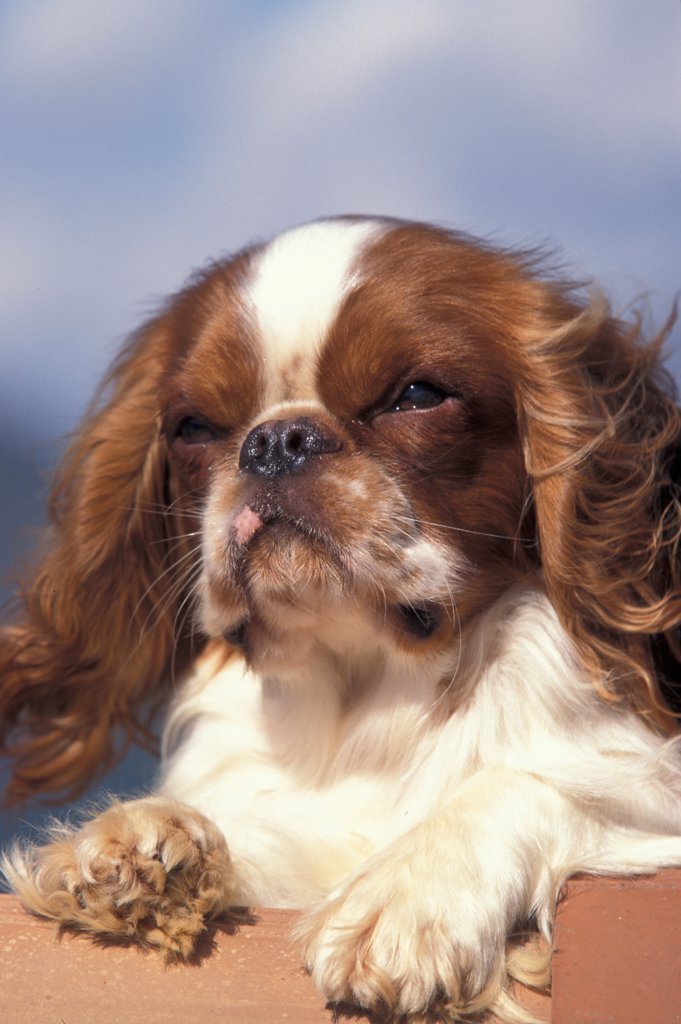 Stock Photo: 4070-4589 Domestic dog, Cavalier King Charles Spaniel portrait