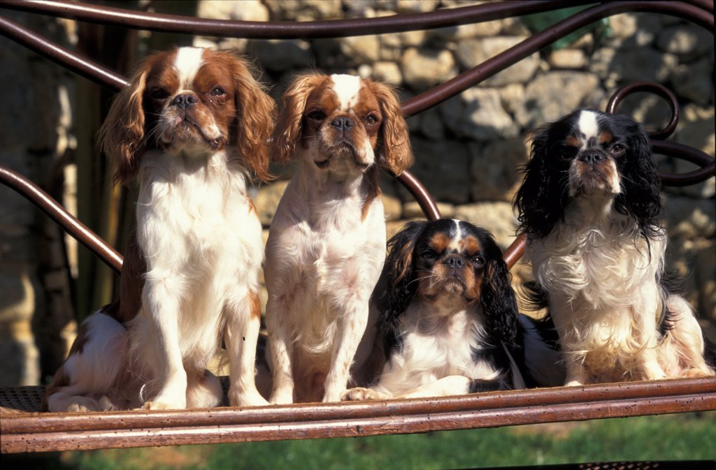 Stock Photo: 4070-4595 Domestic dog, four young Cavalier King Charles  Spaniels